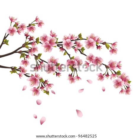 Realistic sakura blossom - Japanese cherry tree with flying petals isolated on white background - stock photo