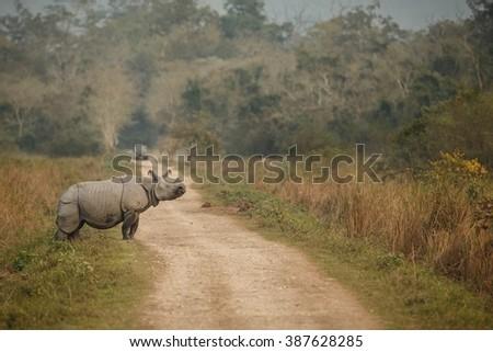 Really big endangered indian rhinoceros male in Kaziranga/Really big endangered indian rhinoceros male in Kaziranga National Park/Really big endangered indian rhinoceros male in Kaziranga - stock photo