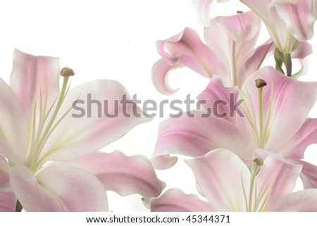 Really Nice Pink Lillies Backlit In Bright Light