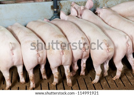 rear buttocks of young Group piglet feeding at breeding pig farm - stock photo
