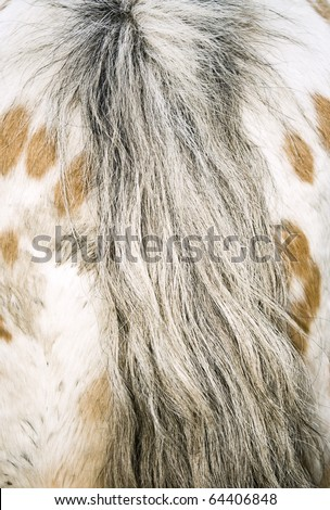 Rear end and tail of appaloosa horse - stock photo