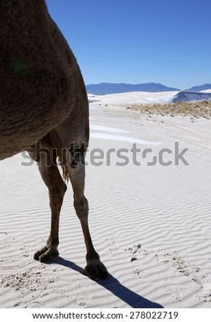 Rear End of Camel Standing in White Sand Desert with Snow Dusted Dunes in Background, White Sands National Monument, New Mexico, USA - stock photo