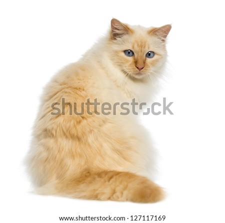 Rear view of a Birman sitting and looking back against white background - stock photo