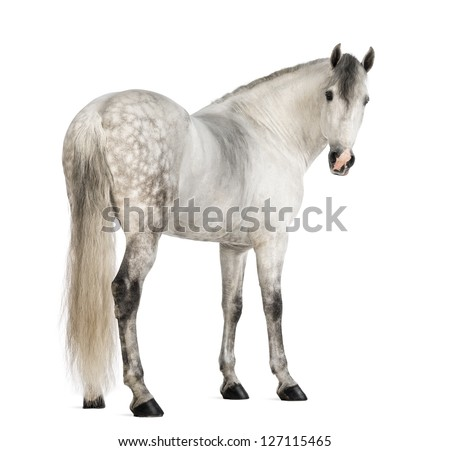 Rear view of a Male Andalusian, 7 years old, also known as the Pure Spanish Horse or PRE, looking back against white background - stock photo