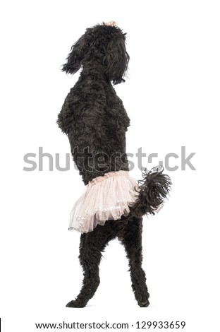 Rear view of a Poodle, 5 years old, standing, dancing and wearing a pink tutu in front of white background - stock photo