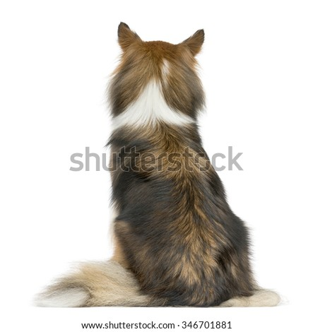 Rear view of a Shetland Sheepdog sitting in front of a white background - stock photo