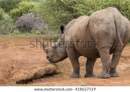 Rear view of a standing adult White Rhinoceros (Ceratotherium simum) in Pilansberg, South Africa