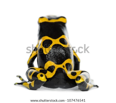 Rear view of a Yellow-Banded Poison Dart Frog, also known as a Yellow-Headed Poison Dart Frog and Bumblebee Poison Frog, Dendrobates leucomelas, against white background - stock photo