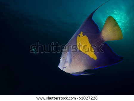 Rear view of a Yellowbar angelfish (Pomacanthus maculosus) on a blue background, Red Sea, Egypt.