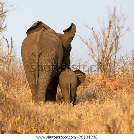 Rear view of an African elephant with her calf, Kruger National Park, South Africa. - stock photo