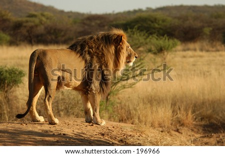Rear view of an African lion, Namibia, Africa - stock photo