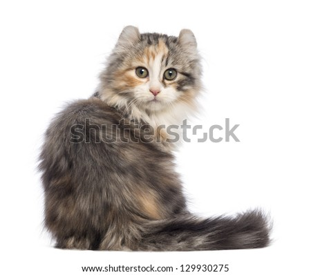 Rear view of an American Curl kitten, 3 months old, sitting and looking at the camera in front of white background