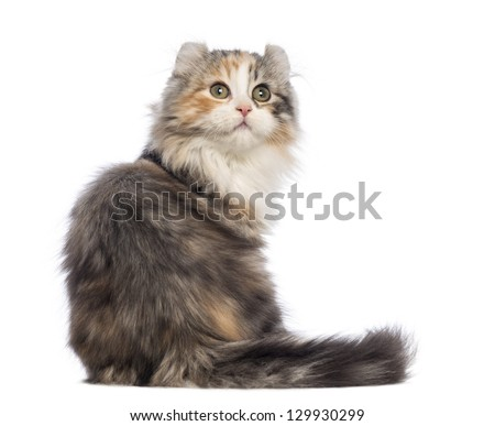 Rear view of an American Curl kitten, 3 months old, sitting and looking up in front of white background