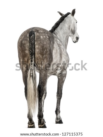 Rear view of an Andalusian, 7 years old, also known as the Pure Spanish Horse or PRE against white background