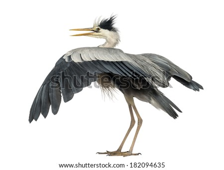 Rear view of an Grey Heron flapping its wings, Ardea Cinerea, 5 years old, isolated on white - stock photo