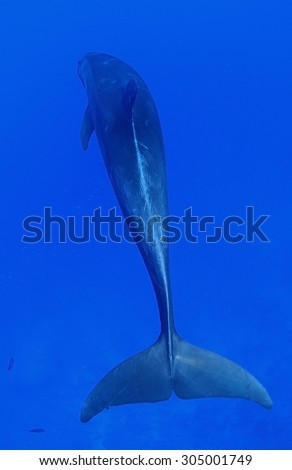 REAR VIEW OF BOTTLE NOSE DOLPHIN SWIMMING ON BLUE WATER - stock photo