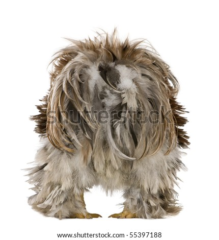 Rear view of Curly Feathered Rooster Pekin, 1 years old, standing against white background - stock photo