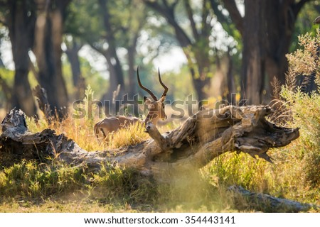 Rear view of impala ram with large horns. Moremi game reserve, Botswana, Africa. - stock photo