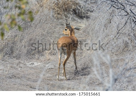 Rear view of Kirk Dik-dik (Madoqua kirkii), the smallest antelope - stock photo