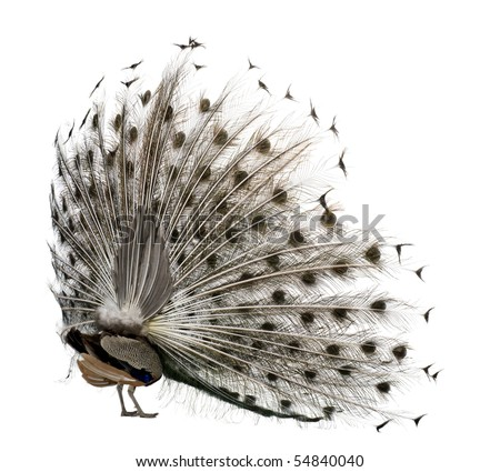 Rear view of Male Indian Peafowl displaying tail feathers in front of white background - stock photo