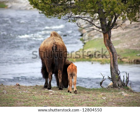 Rear view of mother and calf bison in Yellowstone National Park - stock photo