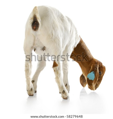 rear view of south african boer goat doeling with reflection on white background - stock photo