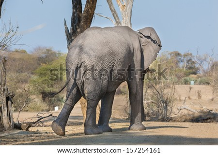Rear view of walking elephant over track, Namib