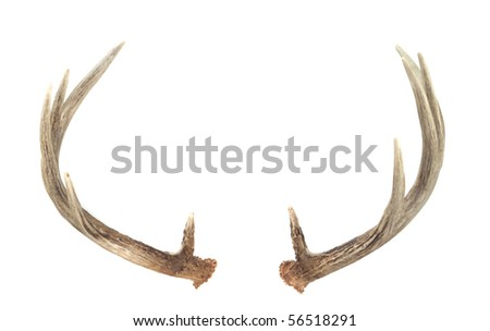 Rear View of Whitetail Deer Antlers isolated on white - stock photo