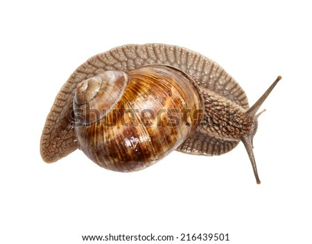 Rear view on Roman snail (Helix pomatia) isolated on white background