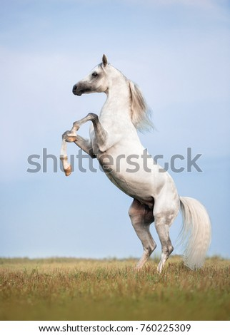 rear white Arabian horse summer in the field