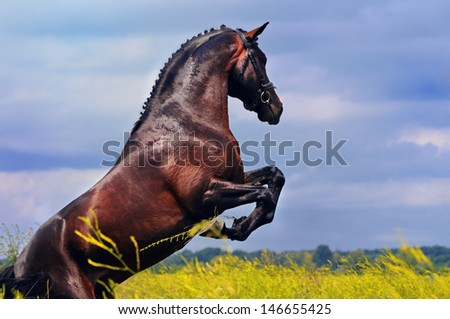 Rearing dark horse in field on the background of dramatic sky - stock photo