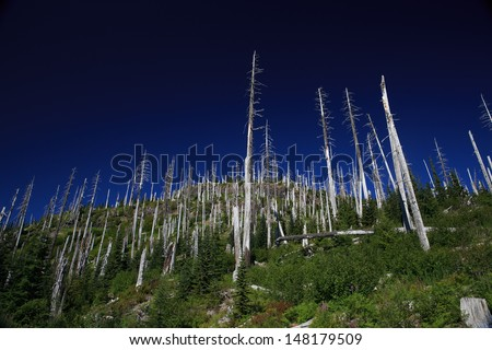 Rebirth Following Eruption at Mt. St. Helens. - stock photo