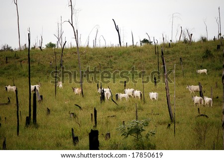 Recently cut and burned rainforest turned into a cattle ranch in the Brazilian Amazon, where cattle ranching is the biggest cause of deforestation. - stock photo