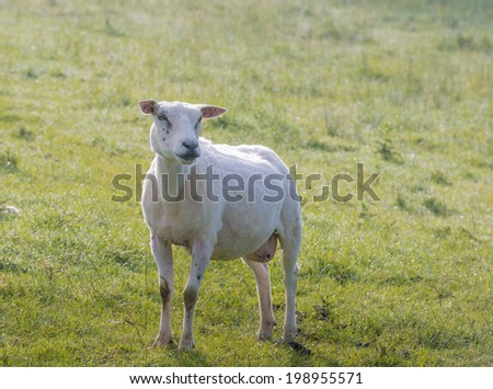 Recently shorn sheep poses in the still dewy grass early in the morning in the summer season. - stock photo
