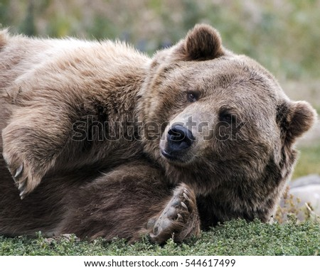 reclining brown bear