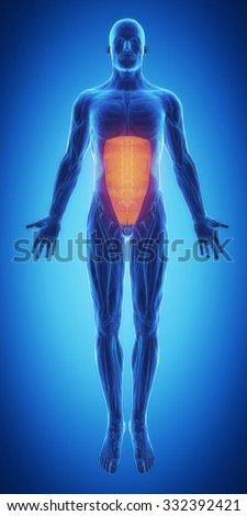 rectus abdominis - blue muscular map - stock photo