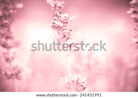 red abstract background from close up Sage plant (lat. Salvia Officinalis) - stock photo