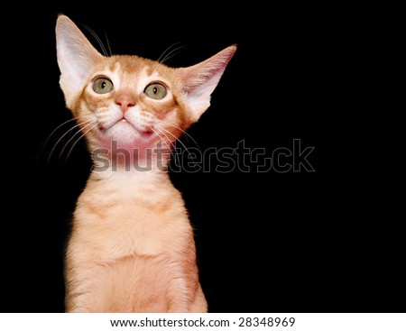 Red abyssinian kitten on black ground - stock photo
