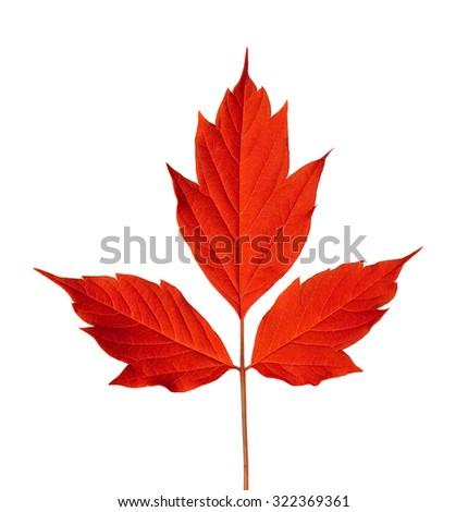 Red acer negundo leaf. Isolated on white background. - stock photo