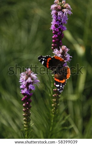 Red admiral butterfly feeding on Gay-feather flower - stock photo