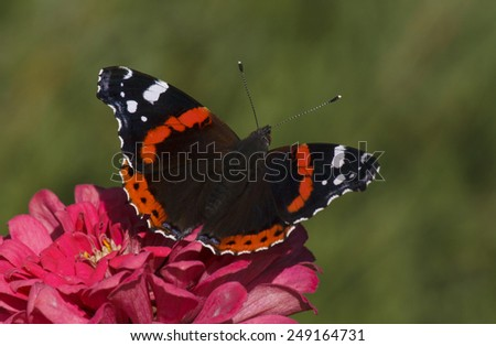 Red Admiral butterfly on zinnia flower - stock photo