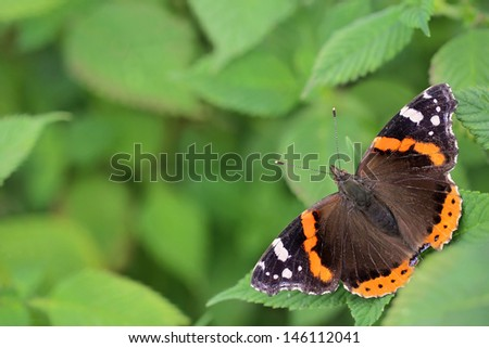 Red Admiral butterfly (Vanessa atalanta) - perfect selective focus