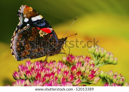 Red Admiral on the flower closeup - stock photo