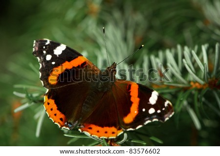 Red Admiral (Vanessa atalanta) butterfly resting on a spruce branch