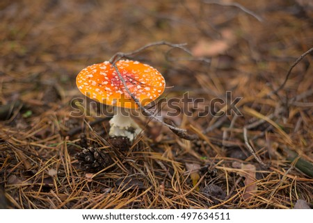 Red amanita mushroom in the autumn forest.