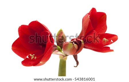 red Amaryllis AKA Hippeastrum flower isolated on white