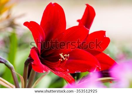 red amaryllis flower - stock photo