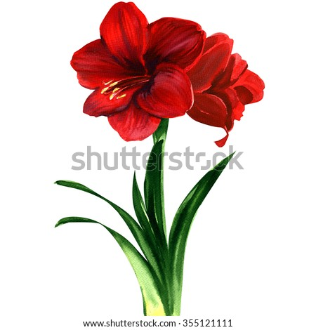 red Amaryllis flower, hippeastrum - stock photo