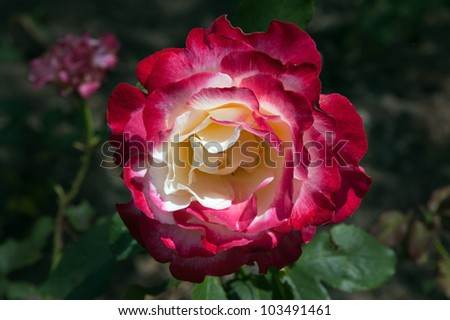 Red and beige rose on dark green background - stock photo
