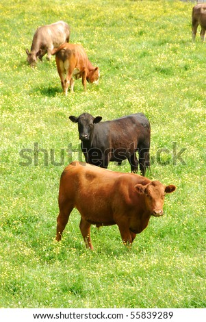 Red and Black Angus steers in a field of green grass and yellow flowers - stock photo